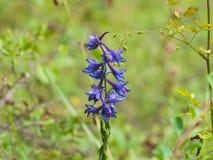 Fiore del primo piano alpino di elatum di speronella o di speronella, fuoco selettivo, DOF basso Immagine Stock Libera da Diritti