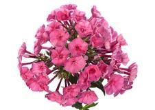 Fiore del primo piano del flox Immagine Stock
