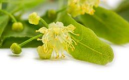 Fiore del primo piano del tiglio Fotografia Stock