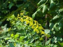 Fiore del primo piano dell'albero di pioggia dorata o di paniculata di Koelreuteria, fuoco selettivo, DOF basso Immagine Stock Libera da Diritti