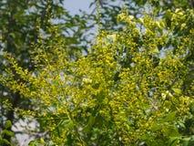 Fiore del primo piano dell'albero di pioggia dorata o di paniculata di Koelreuteria, fuoco selettivo, DOF basso Immagini Stock Libere da Diritti