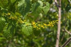 Fiore del primo piano dell'albero di pioggia dorata o di paniculata di Koelreuteria, fuoco selettivo, DOF basso Fotografia Stock Libera da Diritti