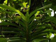 Fiore del primo piano dell'orchidea di cristata di Vanda bello con le foglie fotografia stock libera da diritti