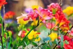 Fiore del primo piano di alstroemeria rosso Fotografia Stock