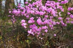 Fiore del primo piano di dauricum del rododendro bello immagine stock libera da diritti
