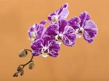 Fiore del primo piano di phalaenopsis dell'orchidea su un marrone chiaro Immagine Stock Libera da Diritti