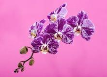 Fiore del primo piano di phalaenopsis dell'orchidea su un rosa Immagini Stock Libere da Diritti