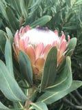 Fiore del Protea Immagini Stock