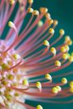 Fiore del Protea immagini stock libere da diritti