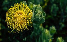 Fiore del Protea con un fondo verde fotografia stock