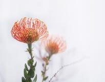 Fiore del Protea isolato su bianco Fotografia Stock
