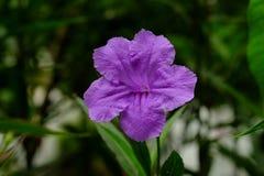 fiore del purpple Immagini Stock