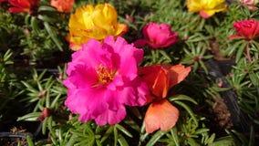 Fiore del Purslane Fotografie Stock Libere da Diritti