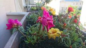Fiore del Purslane Fotografia Stock