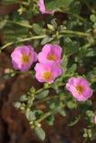 Fiore del Purslane comune Fotografia Stock Libera da Diritti
