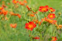 Fiore del quellyon del Geum Fotografia Stock