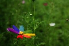 Fiore del Rainbow immagine stock