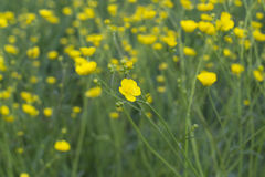 fiore del ranuncolo Fotografia Stock