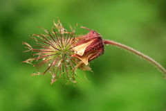 Fiore del rivale del Geum con le gocce di rugiada Immagine Stock