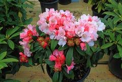 Fiore del rododendro immagini stock libere da diritti