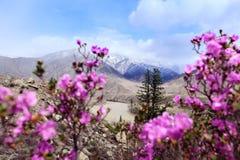 Fiore del rododendro in Altai Fotografia Stock