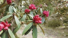 Fiore del rododendro vicino a Annapurna, Nepal archivi video