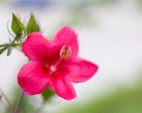 Fiore del rosa-sinensis dell'ibisco Fotografie Stock