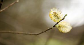 Fiore del salice immagini stock libere da diritti