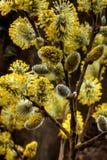 Fiore del salice Immagine Stock Libera da Diritti