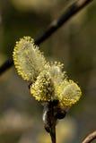 Fiore del salice Fotografia Stock