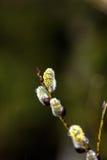 Fiore del salice Fotografie Stock Libere da Diritti
