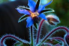 Fiore del sedano di montagna fotografia stock libera da diritti