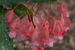 Fiore del seme della begonia fotografie stock