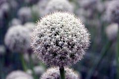 Fiore del seme della cipolla Fotografie Stock Libere da Diritti
