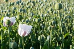 Fiore del seme di papavero Fotografia Stock Libera da Diritti