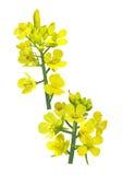 Fiore del seme di ravizzone Immagine Stock Libera da Diritti