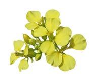 Fiore del seme di ravizzone Fotografia Stock
