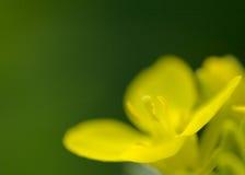 Fiore del seme di ravizzone Fotografia Stock Libera da Diritti