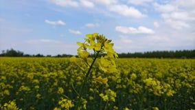 Fiore del seme di ravizzone Fotografie Stock Libere da Diritti