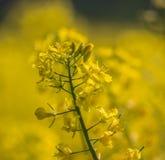 Fiore del seme di ravizzone in Estonia Fotografia Stock Libera da Diritti