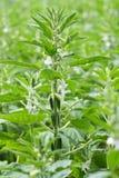 Fiore del seme di sesamo Immagini Stock