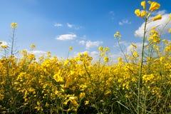 Fiore del seme oleifero con il bello cielo Fotografia Stock Libera da Diritti
