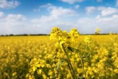 Fiore del seme oleifero con il bello cielo nella distanza Immagine Stock Libera da Diritti