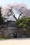 Fiore del serrulatain di Sakura Prunus Fotografia Stock Libera da Diritti