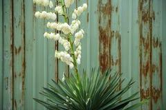 Fiore del sisal Immagini Stock