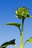 Fiore del sole del germoglio Immagine Stock Libera da Diritti