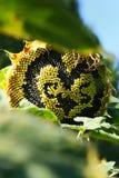 Fiore del sole di amore Fotografie Stock