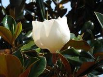 Fiore del sud della magnolia della Florida Immagini Stock Libere da Diritti