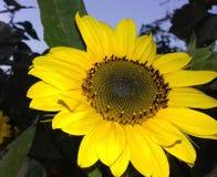 Fiore del sunl di Natura Fotografie Stock Libere da Diritti