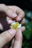 Fiore del tè Fotografia Stock